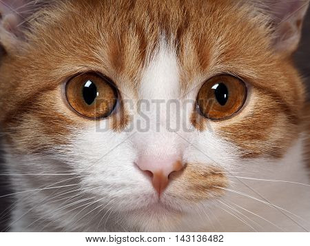 Stunning yellow eyes red cat. Portrait of a cat's muzzle close