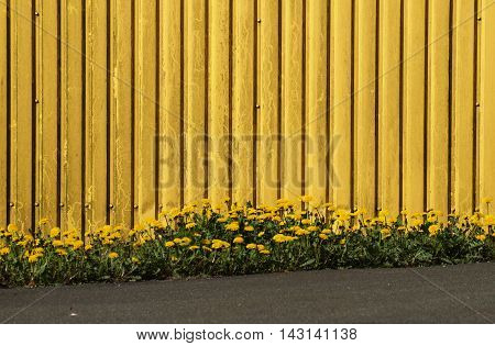A metallic yellow wall with a group of yellow daffodils growing in front of it on the side of a sloped road