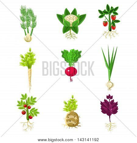 Fresh Vegetables With Roots Primitive Drawings Set. Flat Bright Color Vector Icons Isolated On White Background.
