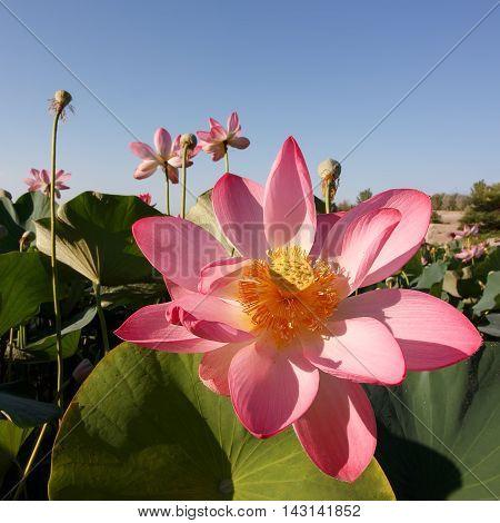 Caspian lotus (Nelumbo caspica) blossom in Volga delta. Astrakhan region Caspian sea Russia. Square composition