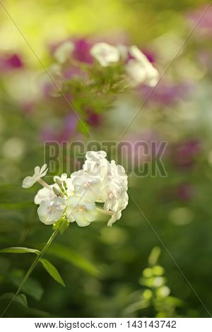 Phlox in the flowerbed colorful summer flowers background