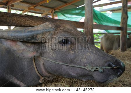 buffalo close upa heavily built wild ox with backswept horns found mainly in the Old World tropics.
