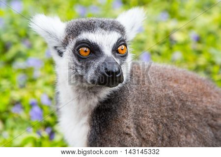 Ring-tailed lemur aka Lemur catta  face close up portrait on green background
