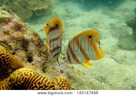 Couple of Copperband or Long-beaked Butterflyfish from Gulf of Thailand, Pattaya, Thailand