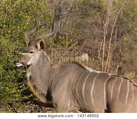 Young Kudu bull with large horns brushing a green tree