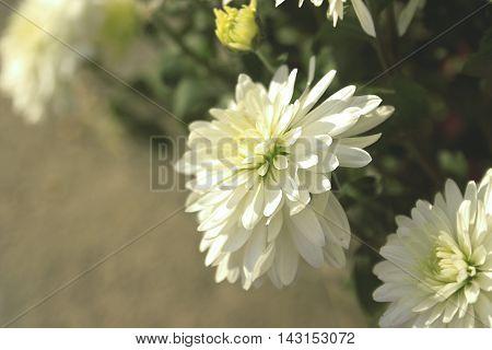 White Vintage Chrysanthemum Flower In Garden. Soft Focus. Toned Image