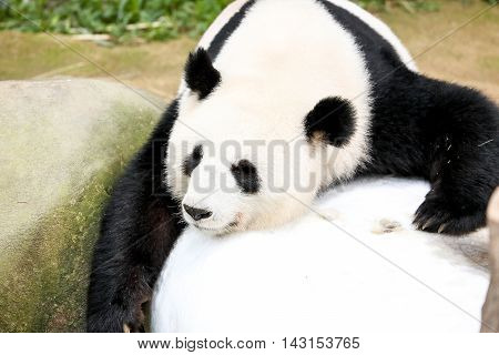 Giant Panda Bear Sleeping Stone Cute adorable outdoor daylight
