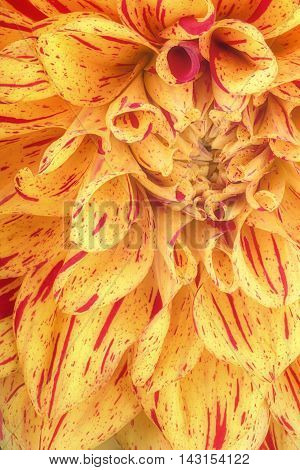 Yellow with red strip flower petals, close up and macro of chrysanthemum, beautiful abstract background.