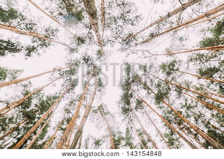 Bottom view of tall conifer trees in young bright pine forest.