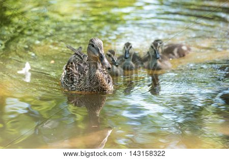 Young Mallard duck family - clutch of babies swimming together with their mom past the camera, ducklings close up with mom on Ottawa river.