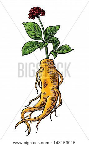 Root and leaves panax ginseng. Vector color engraving vintage vertical illustration of medicinal plants. For traditional medicine, gardening. Isolated on white background.