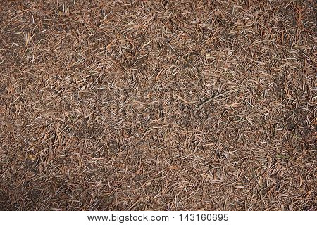 Dry pine needles and small branches lie on the ground. Texture background
