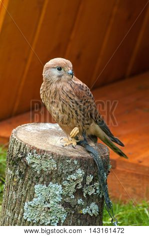 Kestrel bird closeup. Portrait of captive kestrel bird sitting on a stump with pursed foot and basking in the sun. Natural view with kestrel bird