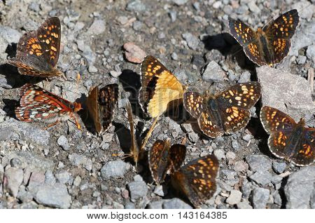 Field Crescent Butterflies (Phyciodes pulchella) at Olympic National Park