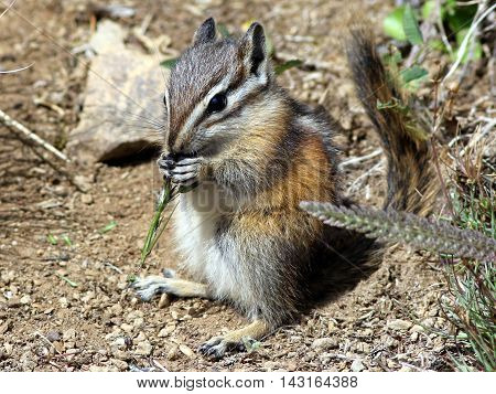 An Olympic Chipmunk (Tamias amoenus caurinus) at Olympic National Park