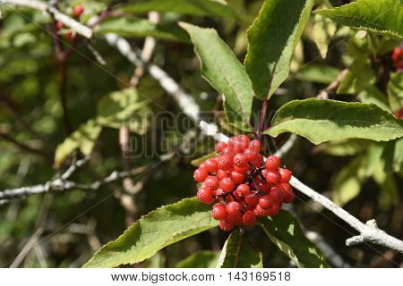 A bunch of Red elderberry (Sambucus racemosa) from the North of Norway.