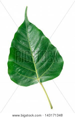 Green leaf Pho leaf, (bo leaf,bothi leaf) isolated on white background.