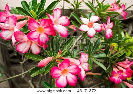 Close up Pink Desert Rose Or Impala Lily Or Mock Azalea Flower.