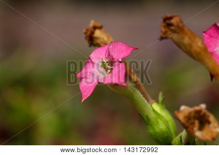 Flower of a cultivated tobacco plant (Nicotiana tabacum)