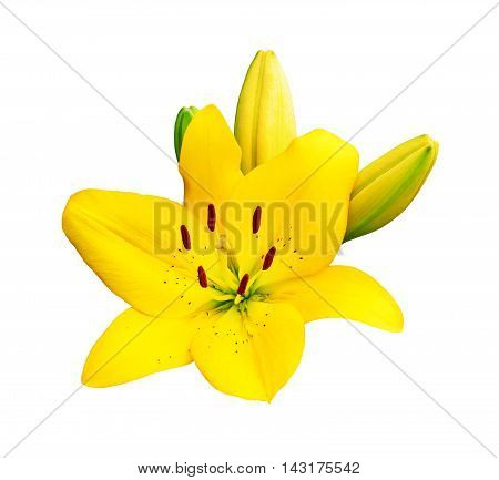 Group of yellow lily flower isolated on white background