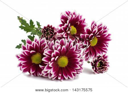 A autumn chrysanthemum magnificent flower isolated white
