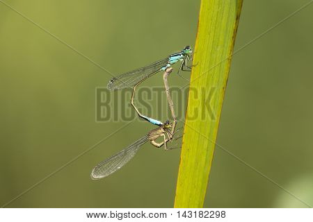 Mating Wheel of Blue-tailed Damselfly (Ischnura elegans) resting on a leaf