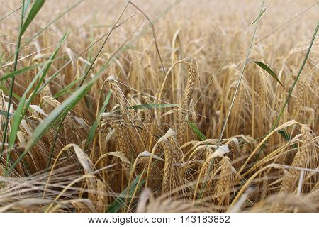 wonderful cornfield from czech republic, wheat barley