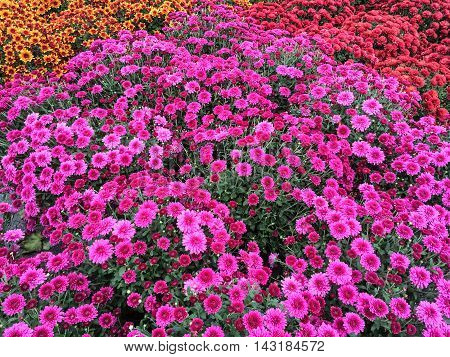 Vibrant purple chrysanthemums at the marketplace. Autumn flowers.