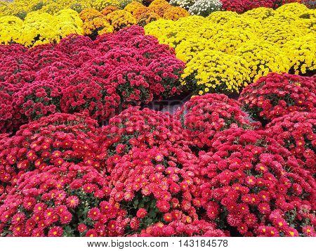 Vibrant red and yellow chrysanthemums at the autumn market.