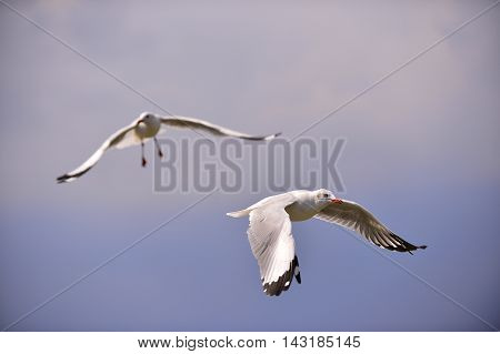 Two seagull flying with blue sky in Thailand.