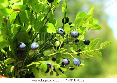 bilberry on the branch in the forest