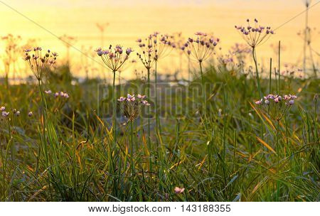 Flowering rush (Butomus umbellatus) at sunset, close up