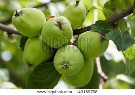 Green apples grow on apple tree branch with leaves under sunlight closeup. Ripe apples on the tree in nature