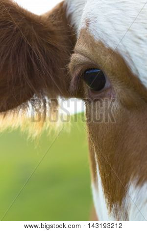 Right profile of cow grazing in a meadow