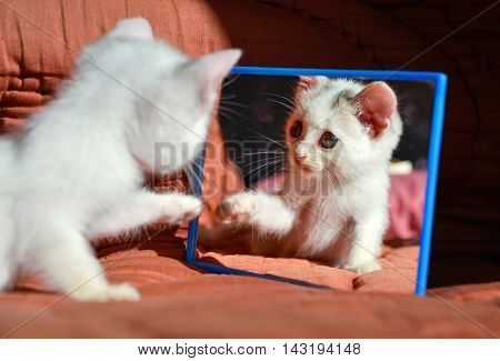 little playful kitty cat looking at himself at the mirror