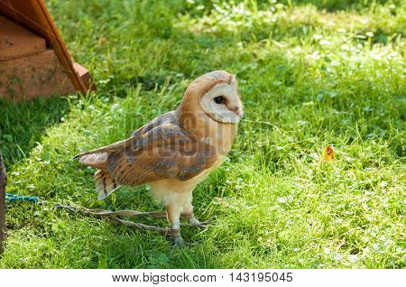 Portrait of Barn owl. Barn Owl - in Latin Tyto Alba - in captivity. Closeup of captive barn owl in sunny weather. Selective focus at the owl eyes.