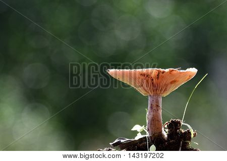 Lactarius deliciosus, commonly known as the saffron milk cap and red pine mushroom, is one of the best known members of the large milk-cap genus Lactarius in the order Russulales.