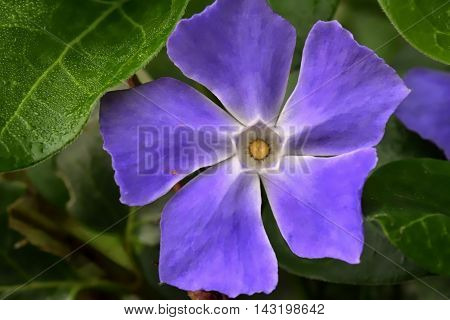 Brunfelsia australis: is a genus of flowering plants in the family Solanaceae, the nightshades. There are about 50 species described.Linnaeus named the genus for the early German herbalist Otto Brunfels (1488-1534). Common names for the genus include rain
