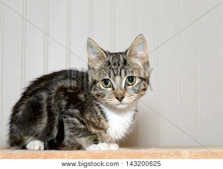 gray and black striped tabby kitten with white chest and paws crouched down looking over viewers left shoulder off in the distance concerned anxious look in eyes.