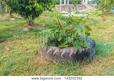Fig Tree planted in Wheels Tires thai