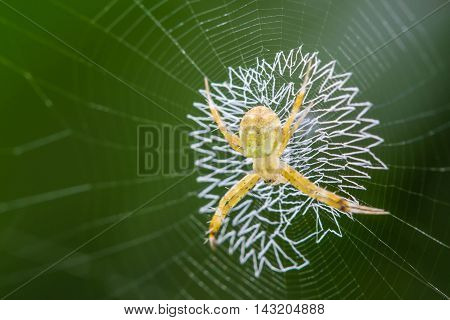 Golden Orb - weaver Spider on wave