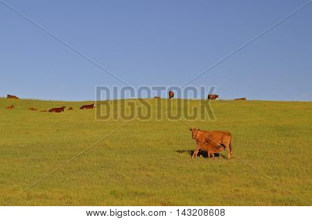 A young calf is nursing from the mother cow as a herd of Red Angus roam the hilly plains.