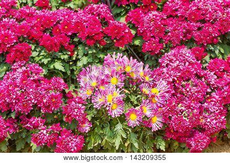 Pink Chrysanthemum Flowers In Garden