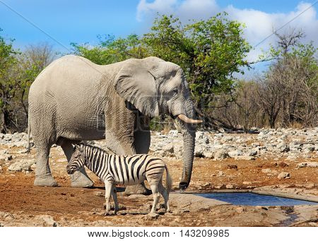 Elephant and a zebra share a waterhole in Etosha National Park showing the difference in size between the two species