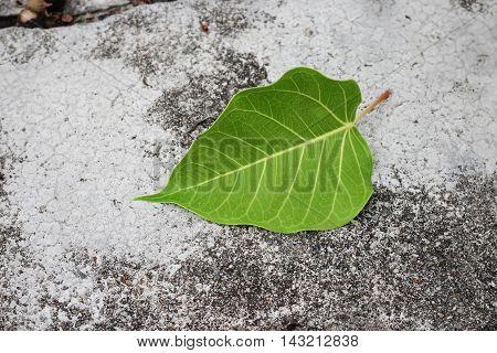 Bodhi or Peepal. Leaf Bodhi Drop on concrete