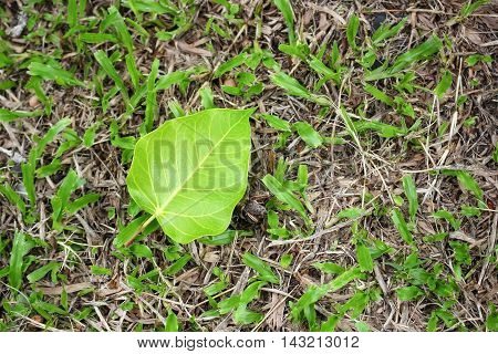 Bodhi or Peepal. Bodhi leaf on green grass background