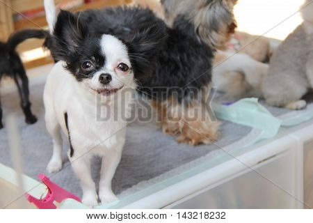Cute small dog smiling stand on floor