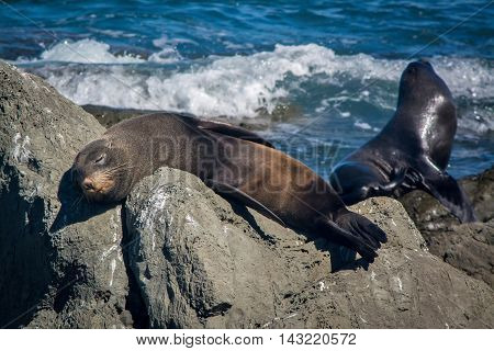 Lazy Seal Sleeping On The Rock At Kaikoura, New Zealand