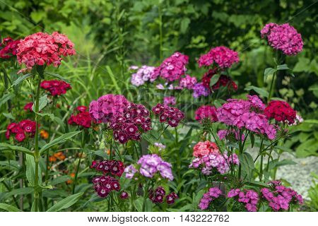 Colorful flowers in a garden. Bushes in the background. Summer.