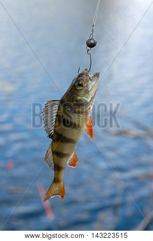 perch fished on jigs in the river